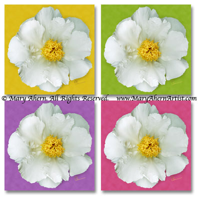 Four different background treatments of the Krinkled White Peony