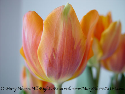 I took this snapshot of these orange tulips using natural light in my studio
