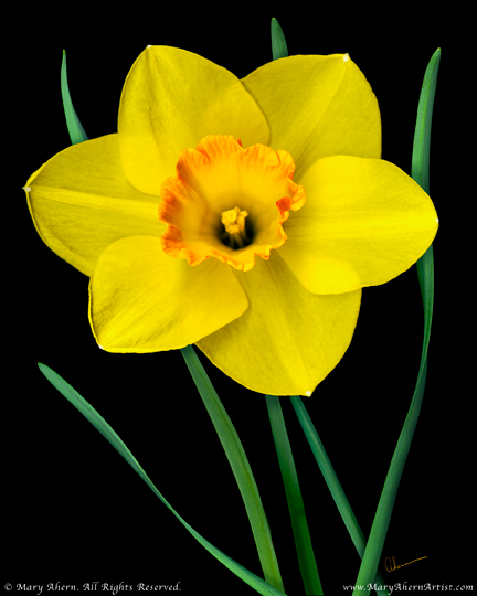 "Mary Ahern the Artist's ""Single Yellow Daffodil"""