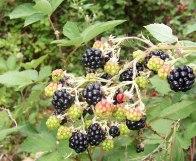 antioxidant plant