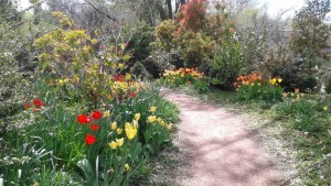 [pathway in botanical garden with red and yellow tulips and greenery