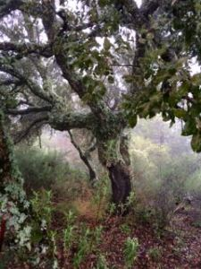 An old cork tree at the top of the hill, Finca los Arboles January 2015