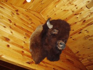 Adolph the Bison