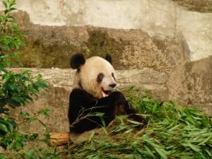 Panda breakfast!