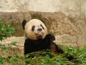 Seriously, you can never take enough panda pictures