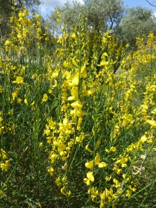 Spanish broom which grows all along the highways