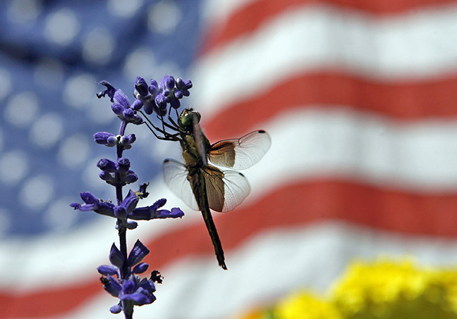 A dragonfly hangs on to a flower outside Winnekenni Castle at the Annual Independence day pancake breakfast in Haverhill.