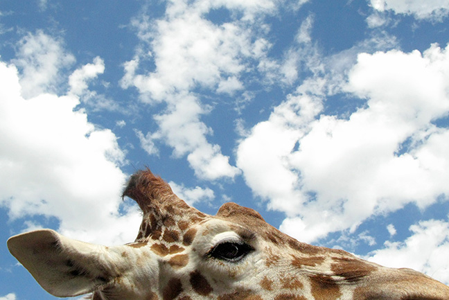 A giraffe has its head on the clouds at the Cheyenne Mountain Zoo in Colorado Springs.
