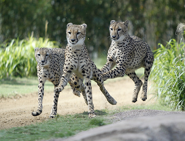 Cheetahs race their through their exhibit at Busch Gardens in Tampa, Fla.