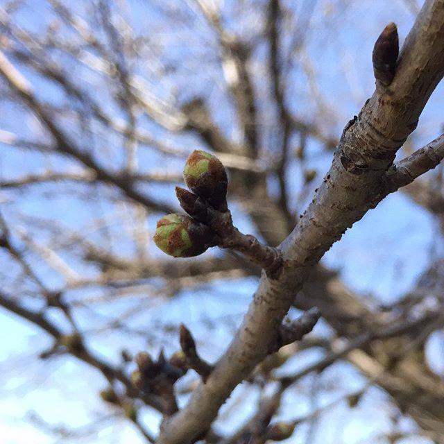 近所の桜はもう少し