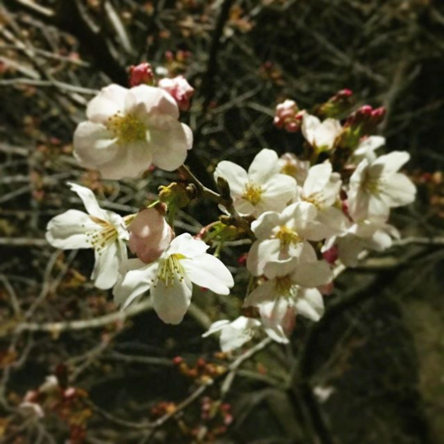 昨晩の桜。未だ1分咲き位かなぁ?