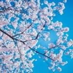 桜が咲く季節に聞きたい曲10選 ~春 ~
