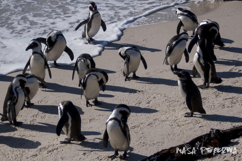 Kapsztad pingwiny Boulder Beach