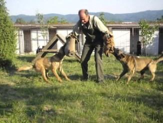 Adiestramiento Defensa Y Ataque del perro de raza
