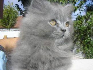 Características del gato Persa Azul