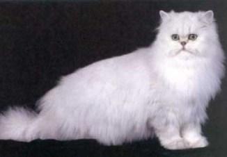 Gato Persa Pekines Información de la raza