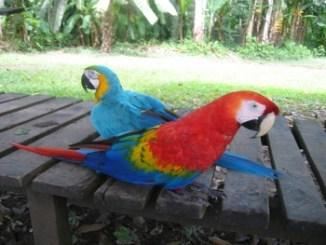 Aves Guacamayos Macao Y Ararauna