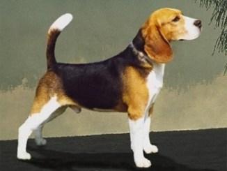 Beagle Ingles