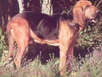 Bloodhound o perro de San Huberto