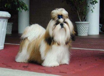 Shih Tzu perro de raíces orientales