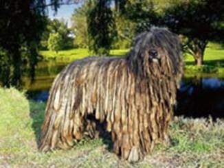Pastor Bergamasco Perro de Pastoreo