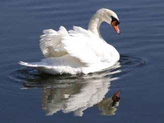 Cisne Vulgar o Cisne Mudo