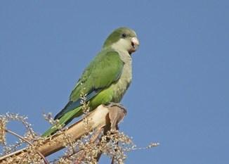 Cotorrita de Color Verde Brillante