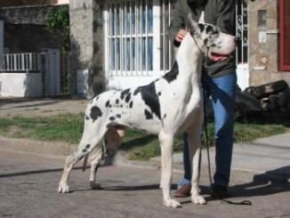 Raza Gran Danes Arlequin Alano o Dogo Alemán