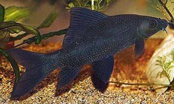 Especie de Pez Labeo Negro o Tiburón Negro