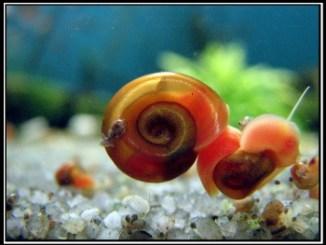 Caracoles de acuario