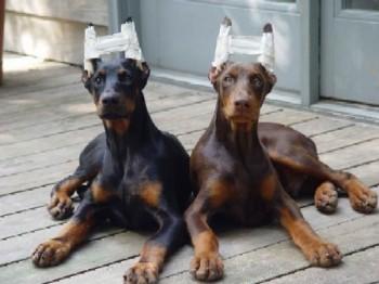 Corte de Orejas en Perros