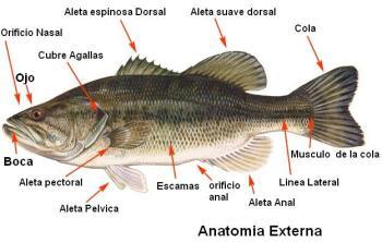 El cuerpo del pez