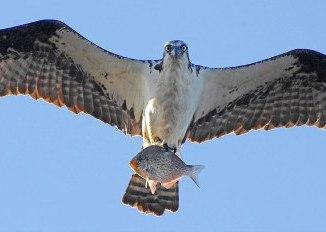 El Aguila Pescadora o Aguila fluvial