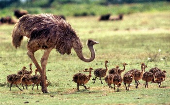 Cómo criar un pichon avestruz