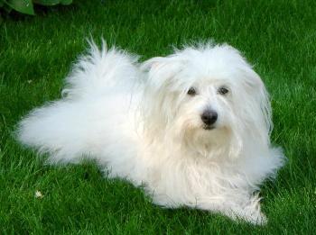 El perro Coton de Tulear es muy apegado a su amo y a su ambiente