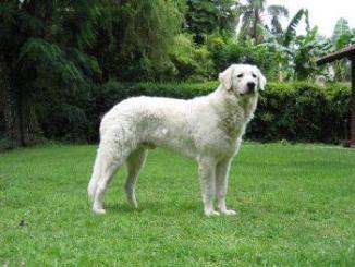 Raza de perro Kuvasz
