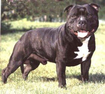 foto de Staffordshire Bull Terrier