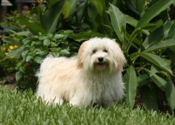 Raza Bichon Habanero Perro de compañía