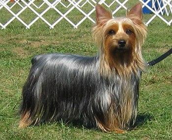 Raza Silky Terrier - Terrier Sedos