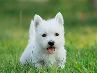 West Highland White Terrier o Terrier Blanco