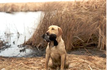 Como Adiestrar Perros de Cobro