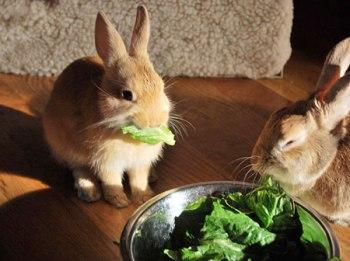 foto de como alimentar un conejo doméstico