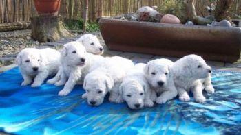 Donde Comprar un cachorro Komondor