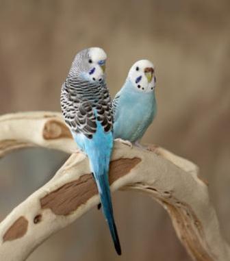 Periquitos Autralianos o Papagayos miniatura
