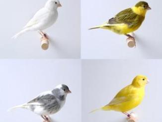 El color de los canarios