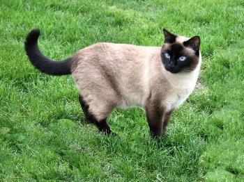 Como es el Gato Siamés