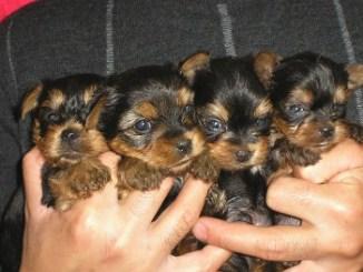 Criaderos de Cachorros de la Raza Yorkshire Terrier