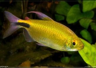 Tetra Aleta Larga Generación de carácidos de acuario