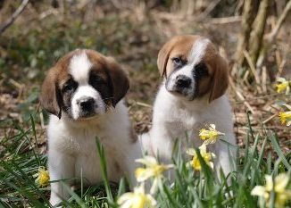 Criaderos de Cachorros de la Raza San Bernardo