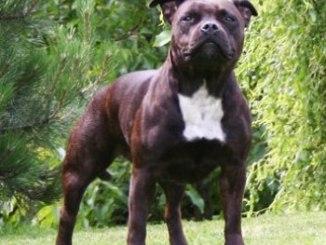 Fotografías e Imágenes de la Raza Staffordshire Bull Terrier